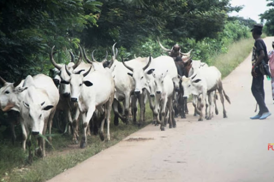South-East Governors Ban Movement Of Cattle Into Region By Foot