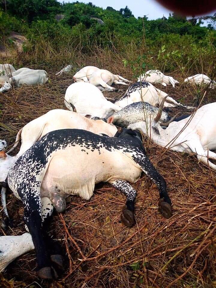 Thunder Strikes 36 Cows To Death In Ondo (Photos)