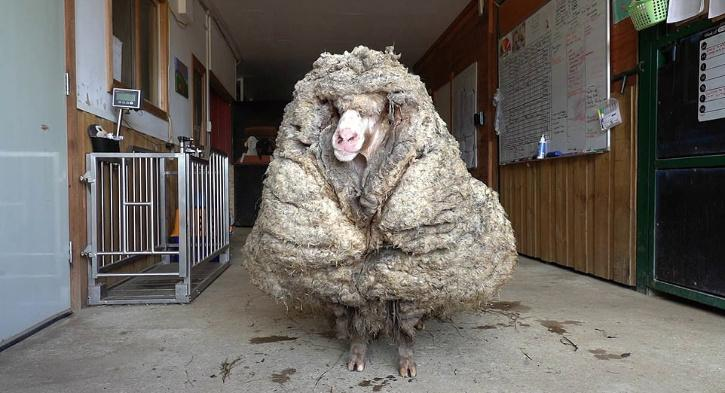 Australia Sheep Looks Like After Five Years Without Shearing